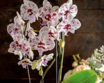 7 советов по выбору орхидеи фаленопсис для начинающих